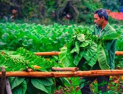 #Visit us #Tabaco Farm in #Viales #Cuba  #Cohiba www.CasaVinales.jimdo.com #CubaTravel  #Bedandbreakfast  (Casa Particular Vinales) Tags: cuba visit bedandbreakfast tabaco cohiba viales cubatravel