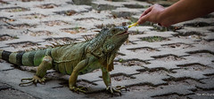2015 - MEXICO - Zihuatanejo - I Like Ketchup on My Fries (Ted's photos - For Me & You) Tags: feet animal mouth mexico nikon feeding head tail wideangle iguana d750 cropped vignetting zihuatanejo tedmcgrath tedsphotos nikonfx zihuatanejoguerrero tedsphotosmexico nikond750 zihuatanejo2015
