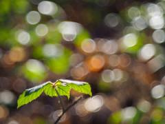 Vintage woods (2) (Karsten Gieselmann) Tags: wood winter brown sun color green forest season de bayern deutschland bokeh jahreszeit olympus grn braun sonne wald bltter farbe m43 mft vintagelens domiplan50mmf28 teublitz microfourthirds em5markii kgiesel