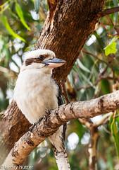 Laughing Kookaburra (HenryHutter) Tags: park bird nature forest laughing wildlife australia we kingfisher kookaburra ozzie