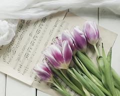 Tulips (Caz Ann) Tags: stilllife white flower home tulips