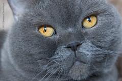 A Portrait of Plushka (Svetlana Serdiukova) Tags: blue portrait closeup cat nikon fat shorthair british nikkor britishshorthair d300 1755mmf28d plushka chuubby svetlanaserdiukova