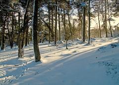 Wintry Woodland (eric robb niven) Tags: trees winter snow walking scotland outdoor hills birnam hillwalking ericrobbniven
