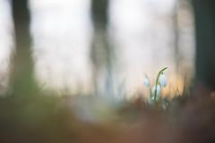 Schneeglckchen (Melman Alexander) Tags: flowers winter wild macro nature germany licht spring flora nikon bokeh awesome laub natur grn blte weiss bume sonnenaufgang snowdrop nahaufnahme galanthus flore frhling gegenlicht morgens boden lneburgerheide uelzen schneeglckchen niedersachsen stativ d600 naturfotografie naturschutz traumhaft frhblher sigma15028macro grnn