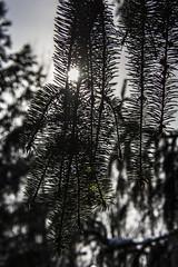 11 February 2016 (runningman1958) Tags: sun tree nature nikon branch bokeh branches 365 365dayproject d7200 nikond7200