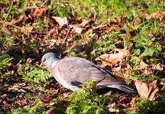 Foraging (skittledog) Tags: bird leaves oxford christchurchmeadows woodpigeon