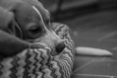 110/365 (Patri.10) Tags: family friends blackandwhite dog mountain amigos blancoynegro beagle happy nice moments hoy 365 montaa today momentos sorpresa proposition bonitos