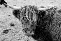 Monochrome Coo (mootzie) Tags: hairy monochrome scotland ginger cow horns scottish highland curly croft windswept harris