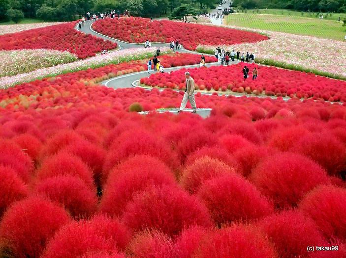 Kochia-Hill-Hitachinaka-City-Japan-1