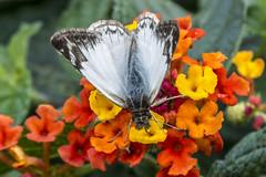 Heliopetes alana (Alana White Skipper) (PriscillaBurcher) Tags: ngc skipper pyrginae whiteskipper heliopetes veinedwhite alanawhiteskipper heliopetesalana mariposasdecolombia butterfliesfromcolombia l1740627