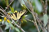 Happy March 1, 2016 (I'magrandma) Tags: butterfly windy gusty yellowjasmine