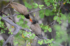 Tuta-de-olhos-vermelhos // African Red-eyed Bulbul (http://jvverde.birdsby.me/v2/) Tags: africa wild bird nature birds natural wildlife natureza birding pssaro aves ave namibia pssaros oiseau bir vogel pjaro avifauna uccello birdwatch selvagem  lintu frica wildbird    madr redeyedbulbul  blackfrontedbulbul pycnonotusnigricans africanredeyedbulbul    nambia onwild emliberdade tutadeolhosvermelhos aoarlivre  erongowildernesslodge nanatureza uccelloaves