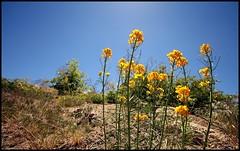 Golden Yellow Wildflowers (greenthumb_38) Tags: flowers flower gold golden hanna hiking hike wildflowers fawnskin dayhike goldenyellow sanbernardinomountains jeffreybass hannaflat