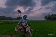 meppayur (MuhammedSalihPhotography) Tags: india kerala ricefield kozhikode vayal meppayur