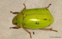 Jewel Scarab (Ecuador Megadiverso) Tags: ecuador beetle coleoptera rutelidae jewelscarab andreaskay