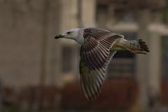 Caspian gull / Larus cachinnans / Pontische meeuw 2cy [B] E318 (Herman Bouman) Tags: b caspiangull laruscachinnans 2cy pontischemeeuw e318