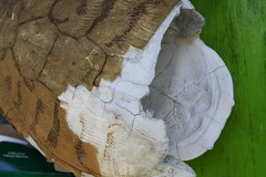 Turtle Shell (tjean314) Tags: st slidell louisiana turtle reptile tortoise shell bone tammany consumerist carapace 2016 reptilian tjean314 johnhanley consumeristcom allphotoscopy20052016johnhanleyallrightsreservedcontactforpermissiontouse