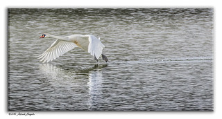 Mute Swan - touch and go