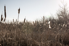 Cattails, Grassy Point Trail, Duluth (Sharon Mollerus) Tags: minnesota unitedstates duluth lakesuperior grassypointtrail