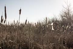 Cattails, Grassy Point Trail, Duluth (Sharon Mollerus) Tags: minnesota unitedstates duluth lakesuperior grassypointtrail