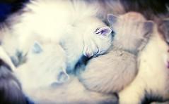 The cat seems the embodiment of ... (leti zacca) Tags: cat canon soft dream gatto bianco dormire animale silky coccole gattini setosa soffice sognatore