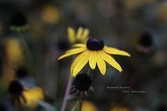 Black Eye_1 [redux] (MadoneRider) Tags: flowers yellow nikon bokeh rudbeckia blackeyedsusans 50mmf14 shallowdepthoffield hirta luminositymasking tkactions