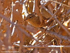 Winter Wren (Troglodytes hIemalis) - Stephen's Falls Trail, Governor Dodge State Park, Iowa County, Wisconsin - April 17, 2016 (quetzal66) Tags: statepark bird nature wisconsin native wildlife aves sp breeding wren troglodytes avian nesting resident passeriformes winterwren governordodge troglodytidae dodgecounty summerresident troglodyteshiemalis