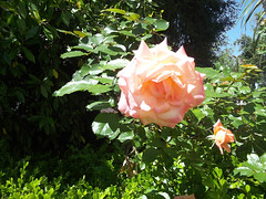 Pink Rose (melastmohican) Tags: park pink red summer plant flower color macro green love nature floral beautiful beauty field rose closeup garden season botanical outdoors spring bush flora colorful day natural blossom gardening outdoor sunny nobody fresh petal bloom shrub rosebush blooming