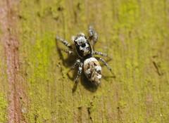 Zebra Jumper crop a (Procrustes2007) Tags: uk england spider suffolk britain wildlife arachnid sudbury closeuplens zebraspider salticusscenicus wildlifephotography greatcornard nikond90 afsnikkor1855eddx gridreftl883407 d90jumper