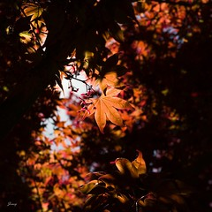 Burning For You (Janey Song) Tags: trees leaves sunshine 35mm iso100 burning f4 mapletrees vancouvercanada vancouverstreet