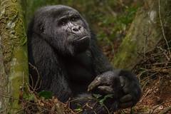 Hands (Hector16) Tags: africa hot rainforest gorilla ngc unescoworldheritagesite unesco safari npc uganda ug dryseason bwindi mountaingorilla westernregion gorillaberingeiberingei republicofuganda cloudsmountaingorillalodge bwindiinpenetrableforest bufumbira nkuringogroup nkuringogorillagroup