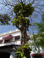 Thick Ivy, Pondicherry (Aidan McRae Thomson) Tags: india tamilnadu pondicherry puducherry