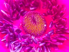 Anemone heart (Brian_B_Images) Tags: pink flower macro garden sussex flora heart anemone iphone westbourne 5s olloclip