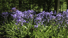 Blue Bells (Lawrence OP) Tags: bluebells washingtondc arboretum national