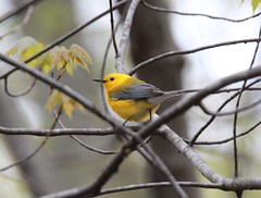 Prothonotary Warbler (Zach Frieben) Tags: michigan 2016 riverviewpark prothonotarywarbler constantinemi canoneosrebelt3i tamron150600