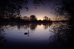 May Dawn (2016-05-01) (snjscuba) Tags: uk morning england lake water silhouette sunrise dawn swan ripple northamptonshire calm ripples sunup daybreak ringstead kinewell