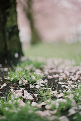 "Nikon N75, Fuji Pro 400H - ""I Told You I'm Not Done With the Spring Foliage Yet :-)"" (peakbagger_trin) Tags: spring close ishootfilm 35mmfilm sakura nikonn75 tommccallwaterfrontpark fujicolorpro400h natureycrap fimisnotdead filmisnotdeaditjustsmellsfunny springismyfavoriteseason"