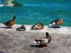 GENEVE - 'Duck' nap (LUAL audiovisual) Tags: blue sun water animal switzerland muelle duck dock suiza geneva siesta transparent patos bluish