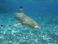 Swimming with Back Tip Reef Shark in Bora Bora (Craigs Travels) Tags: ocean fish swimming shark underwater lagoon snorkeling southpacific tahiti reef borabora frenchpolynesia blacktip societyislands