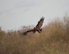 Female marsh harrier (ian._harris) Tags: morning bird nature digital fly nikon d750 serene tamron 150600
