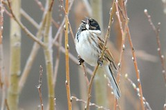 HNS_1507 Rietgors : Bruant des roseaux : Emberiza schoeniclus : Rohrammer : Reed Bunting