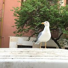 Seagull (Marco Di Battista) Tags: urban white rome roma animals seagull bianco nem animali gabbiano byrd uccello