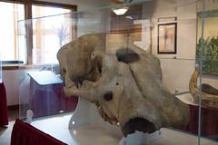 mastodon (timp37) Tags: park skull zoo illinois head phillips cyclops aurora bones april mastodon 2016