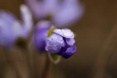 Hepatica (Infomastern) Tags: lund spring botanicgarden vr hepatica botaniskatrdgrden blueanemone blsippa