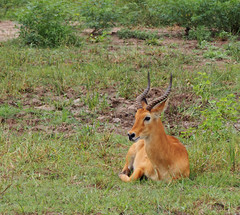 Impala (little_duckie) Tags: africa elephant zebra giraffe hippopotamus hyena zambia bigfive southluangwa southluangwanationalpark