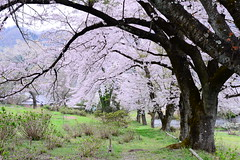 On Hillside (H.H. Mahal Alysheba) Tags: flower tree nature japan rural cherry nikon cherryblossom sakura nikkor afs d800 nagatoro 58mmf14