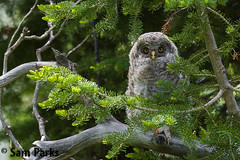 GG40 (Sam Parks Photography) Tags: trees wild summer usa baby bird nature animal forest rockies spring wings woods nest nps wildlife unitedstatesofamerica ghost feathers young meadow aves raptor northamerica rockymountains wyoming greatgrayowl phantom predator juvenile carnivorous naturalworld jacksonhole avian fledgling offspring tetonrange parkservice strigiformes grandtetonnationalpark predatory strixnebulosa gye nestling mountainous owlet carnivora strigidae gtnp fledge greateryellowstoneecosystem horizontalorientation carniore
