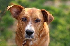 Amanda (Sandra_Gilchrist) Tags: dog amanda canine terrier narrowdepthoffield sandragilchrist