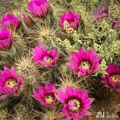 IMG_20160415_185148 (IMHPhotos) Tags: flowers arizona cactus print wm springtime