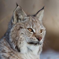 Eurasian Lynx cub portrait (nemi1968) Tags: november portrait closeup cat canon nose eyes bokeh ears lynx gaupe langedrag markiii 5monthsold catfamily eurasianlynx specanimal canon5dmarkiii eartufs